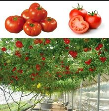 Sweet Huge Tree Tomato Seeds Fruit Vegetable best quality high growing 30 Seeds