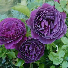 "Ebb Tide Rose Bush Fragrant Purple Flowers Potted 4"" Container Own Root"