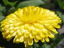 PACIFIC BEAUTY YELLOW MARIGOLD CalendulaFlower 50 Seed (FLOWER SEEDS)