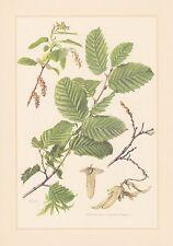 Hainbuche - Carpinus betulus Farbdruck von 1960 Weißbuche Hagebuche Hornbaum