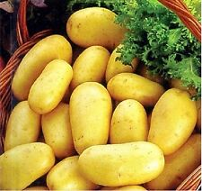 "Seeds Potatoes ""Empress"" early variety.  Solanum tuberosum  from Ukraine"
