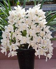 100 White Cymbidium Faberi Seeds Cicada Orchid Flower Seeds