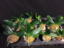 "Sedieria japonica Fragrant Species Orchid 3"" Bloom Size"