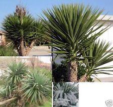 * Yucca AIoifolia Palmen * Stamm bis 6 Meter hoch / bis -30  winterhart / Samen
