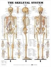 SKELETAL SYSTEM POSTER (66x51cm) ANATOMICAL CHART SKELETON MEDICAL NEW