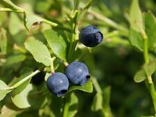 Vaccinium myrtillus BILLBERRY Shrub Seeds