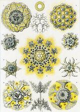 Art Forms in Nature: Ernst Haeckel: Polycyttaria - Fine Art Print