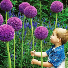 10Pcs Beautiful Purple Giant Allium Giganteum Flower Seeds Garden Plant L7