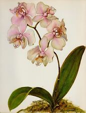 Botanical ORCHID Print Gallery Wall Art Shabby Chic Decor Phalaenopsis 1722