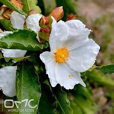 ROCK ROSE (Cistus Populifolius) 50+EXTRA seeds (#787)