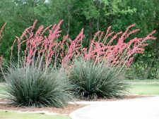RED YUCCA (Hesperaloe parviflora) 10 seeds