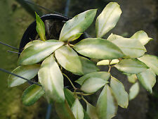5 - 6  inches rooted plant of Hoya wallinianna variegated VERY RARE & NEW!!