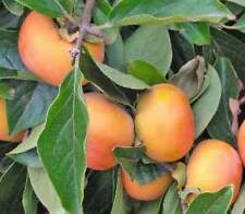 Hachiya Japanese Persimmon Fruit Tree Astringent
