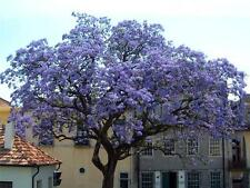 Royal Empress (Foxglove)Tree Rare Fastest Growing Hardwood Tree 50 Seeds