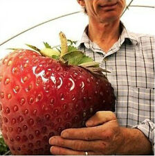 Hot selling 100 Seeds / Pack, Super Giant Strawberry Fruit Seed Apple Sized