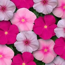 40+  Vinca Bubbleyum Mix Periwinkle Flower Seeds / Annual