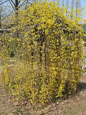 2* WEEPING FORSYTHIA FLOWERING SHRUB TREE ***1-2 FT  SPRING BLOOMS LIVE PLANTS