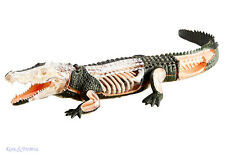 4D Vision Crocodile Anatomy Model with Bones and Organs