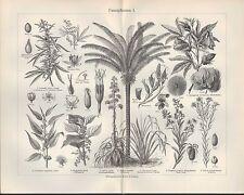 Lithografie 1905: Faser-Pflanzen. I/II. COLUMNIFEREN Jute Hanf Flachs Baumwolle