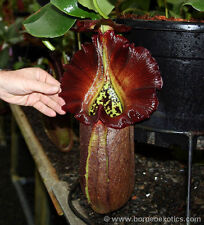 Carnivorous Nepenthes Species Robcantleyi  Tropical Plant Scarce Limited W48