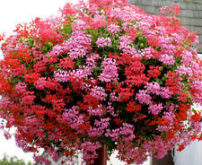 IVY LEAF GERANIUM MIX - Pelargonium peltatum - 5 Finest seeds SOW TO MAY