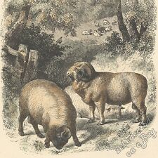 Merino Sheep - antique 1866 hand-coloured engraving print - livestock wool breed