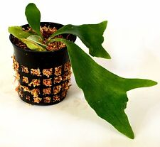 "Staghorn Fern 3.25"" pot - EXOTIC - Platycerium Easy Grow GIFT Holiday Cute Plant"