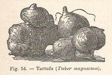 B1278 Tuber magnatum - Incisione antica del 1930 - Engraving