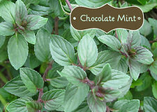 30+ Chocolate Mint Seeds Heirloom Non GMO!