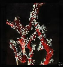 Glass Magic Lantern Slide RED CORAL C1910 SEA LIFE