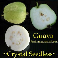 ~CRYSTAL SEEDLESS GUAVA~ YUMMY Fruit Tree WHITE FLESH Nice Potted Starter Plant