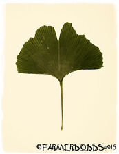 Ginkgo biloba 'Maidenhair Tree' [Prov: Limousin region, France] 6 Fresh Seeds