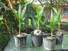 1 Coconut malayan green palm tree