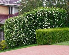 10 x Murraya Paniculata Mock Orange Jessamine Hedge Plant BIODEGRADABLE POT