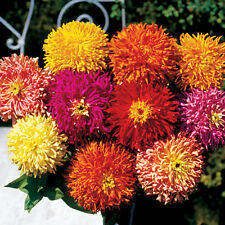 Zinnia Seeds - CACTUS GIANT - Large Feathery Petaled Blooms - Annual - 25 Seeds