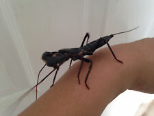 Vinegaroon REAL MEDIUM/LARGE live insect praying mantis alternative