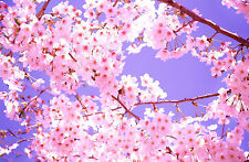 Encadrée imprimer-cherry blossom tree in the sunshine (photo poster art oriental)