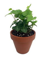 "The Back to School Ivy Plant - 4"" Clay Pot for Better Growth"