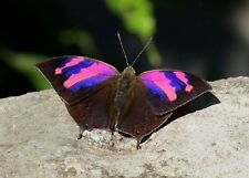 ONE REAL BUTTERFLY PINK PERUVIAN ANAEA NESSUS PAPERED UNMOUNTED WINGS CLOSED