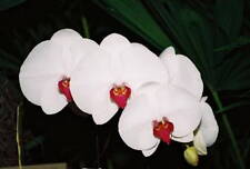 Phalaenopsis Moth Orchid Live healthy Flowering size Plant