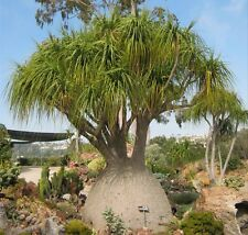 5 Ponytail palm Beaucarnea recurvata elephant's foot * Exotic *Showy* CombSH C15