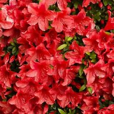 "AZALEA - FORMOSA -  RED  - 2 PLANTS - 2"" POT - RHODODENDRON - LINERS"