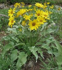 balsam root, ARROWLEAF BALSAMROOT, wild sunflower, 25 seeds! GroCo