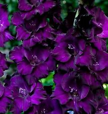(5) Perennials Gladious Blue & Purple Passion Mix New Flower Bulbs Ready to Ship