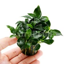 Anubias nana barteri 'PETITE' - Live Aquarium Plants Full Potted BUY2GET1FREE*