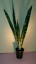 VERY TALL Back Coral Sansevieria Mother in Laws Tongue Snake Plant