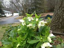 5 LENTEN ROSE MIXED Perennial 2 year old, Shade, Drought Resistant, HELLEBORUS
