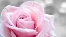 PINK ROSE FLOWER - Stunning Floral Large Wall Art Canvas Picture 20 x 30""