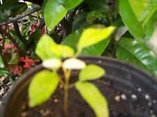 Longan Tropical Fruit Tree 1 Small Logan Plant