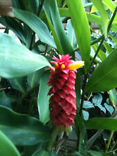 HELICONIA TROPICAL EXOTIC GINGER PLANT-- BIG RED ( 3 BULBS/RHIZOMES)  BIG FLOWER